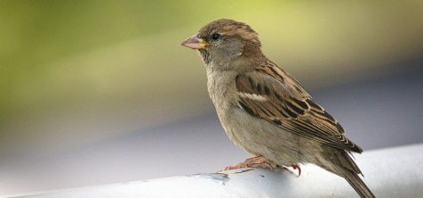 sparrow.REFUGE blog.4.5.20